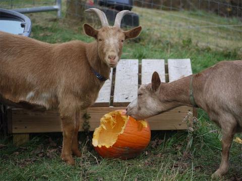 Goats eating a pumpkin