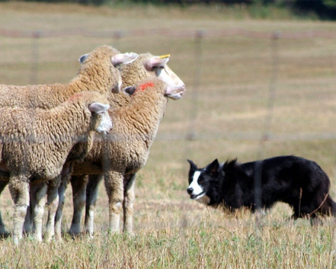 Sheep dog and sheep