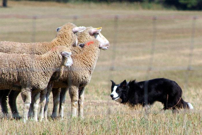 Sheep dog and sheep