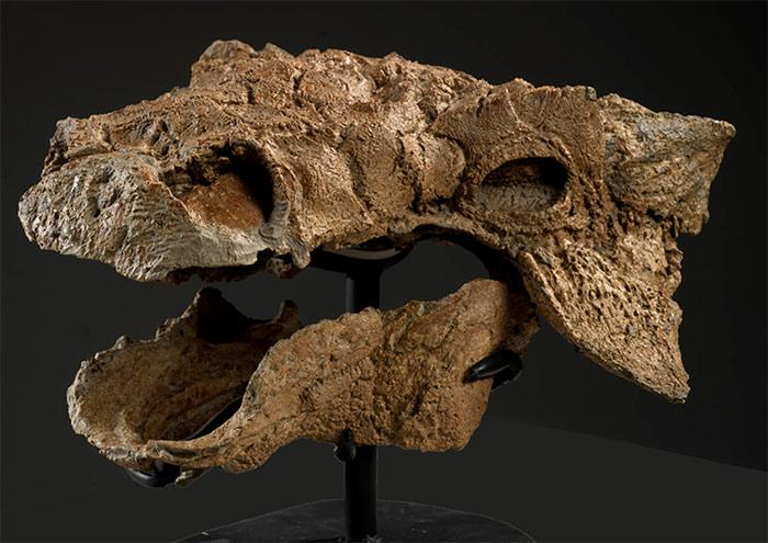 Skull of zuul fossil